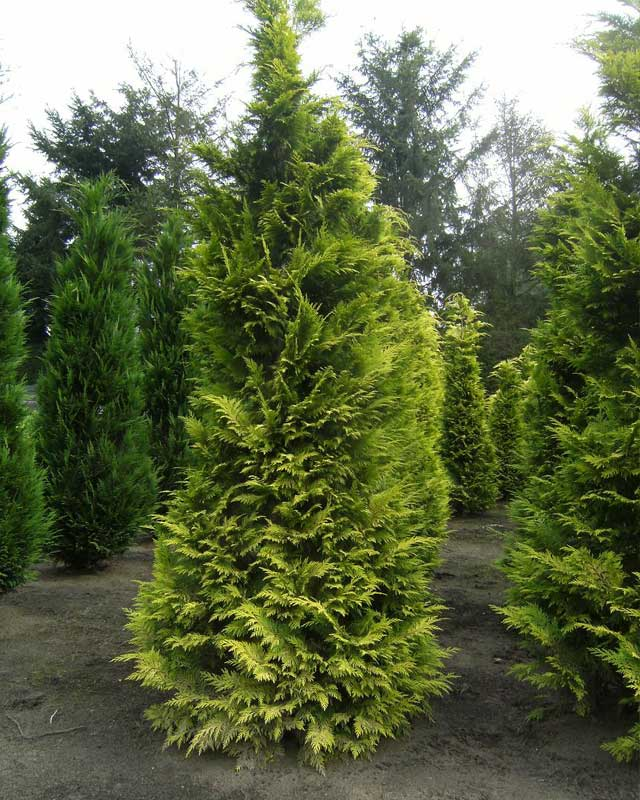 Coniferen bij Boomkwekerij van der Grift in Doorn