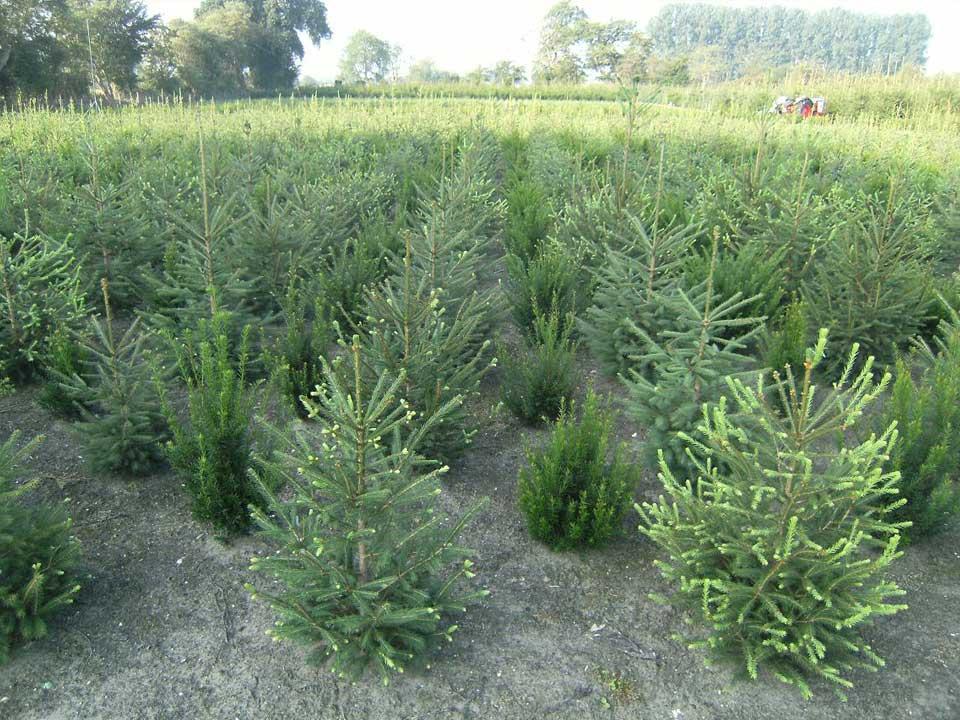Verschillende maten kerstbomen vind u bij boomkwekerij van de Grift in Doorn