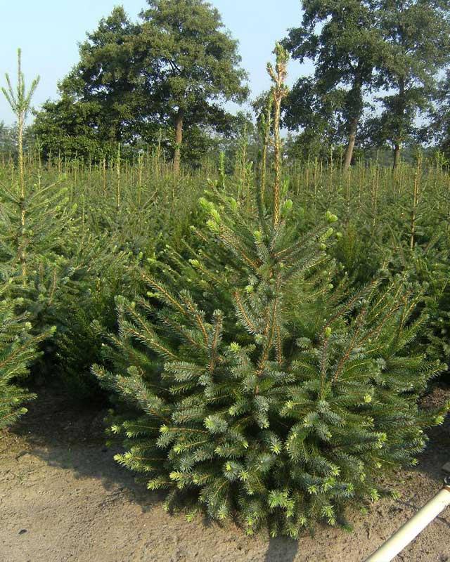 Kerstbomen Doorn gezocht? Kijk eens bij A.J. van de Grift in Doorn