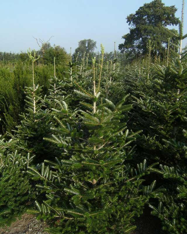 De beste kerstbomen vind u bij A.J. van de Grift in Doorn