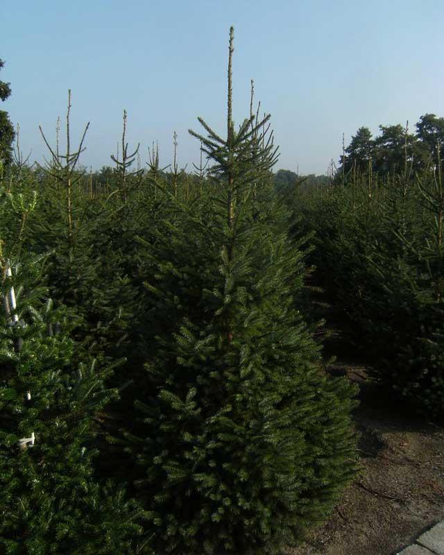 Kerstbomen vind u bij Boomkwekerij van de Grift in Doorn