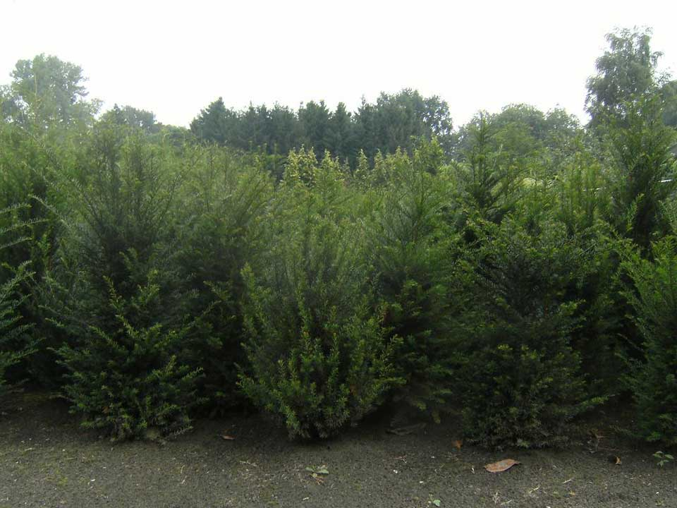 Taxus bomen en struiken vind je bij A.J. van der Grift in Doorn