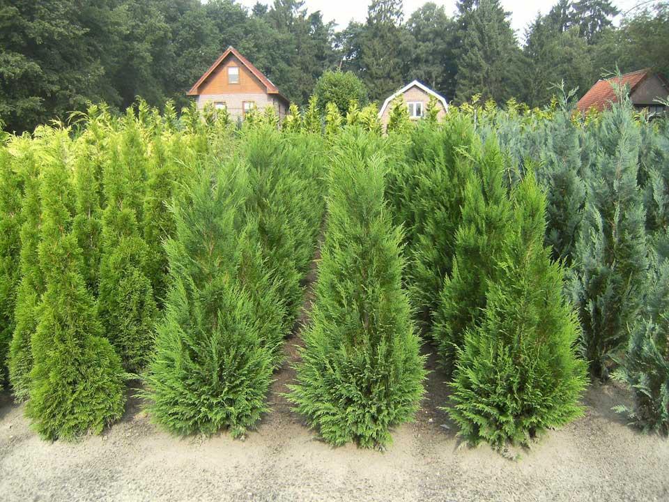 Coniferen voor haag, solitaire conifeer of groep coniferen bij Boomkwekereij van der Grift in Doorn