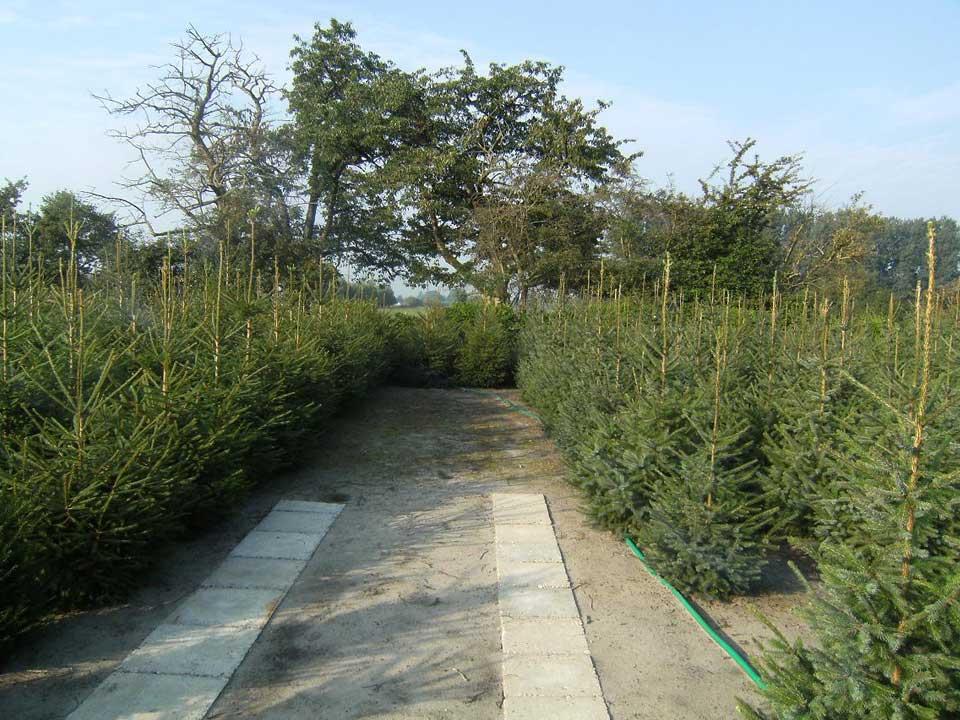 Kerstbomen vind u bij A.J. van de Grift in Doorn