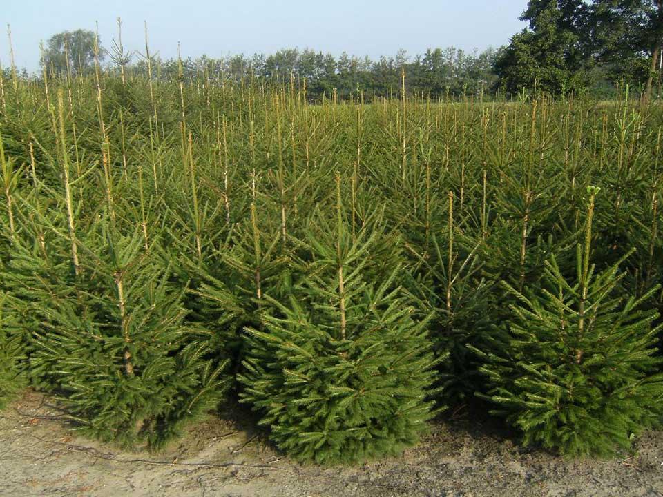 De mooiste kerstbomen vind u bij A.J. van de Grift in Doorn