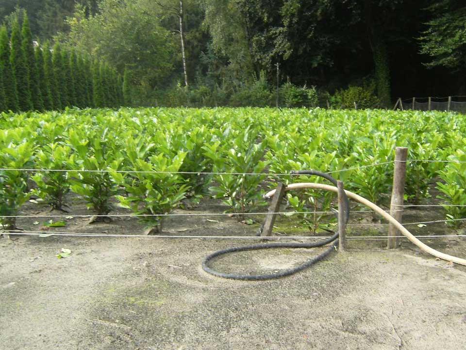 Laurier struiken vind u bij A.J. van der Grift Kwekerijen in Doorn